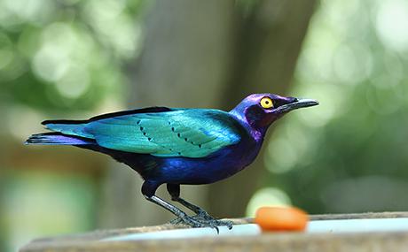 oiseau-turquoise-bleu-vert-viloet