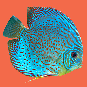 poisson-exotique-bleu-points-orange-fond-orange.jpg